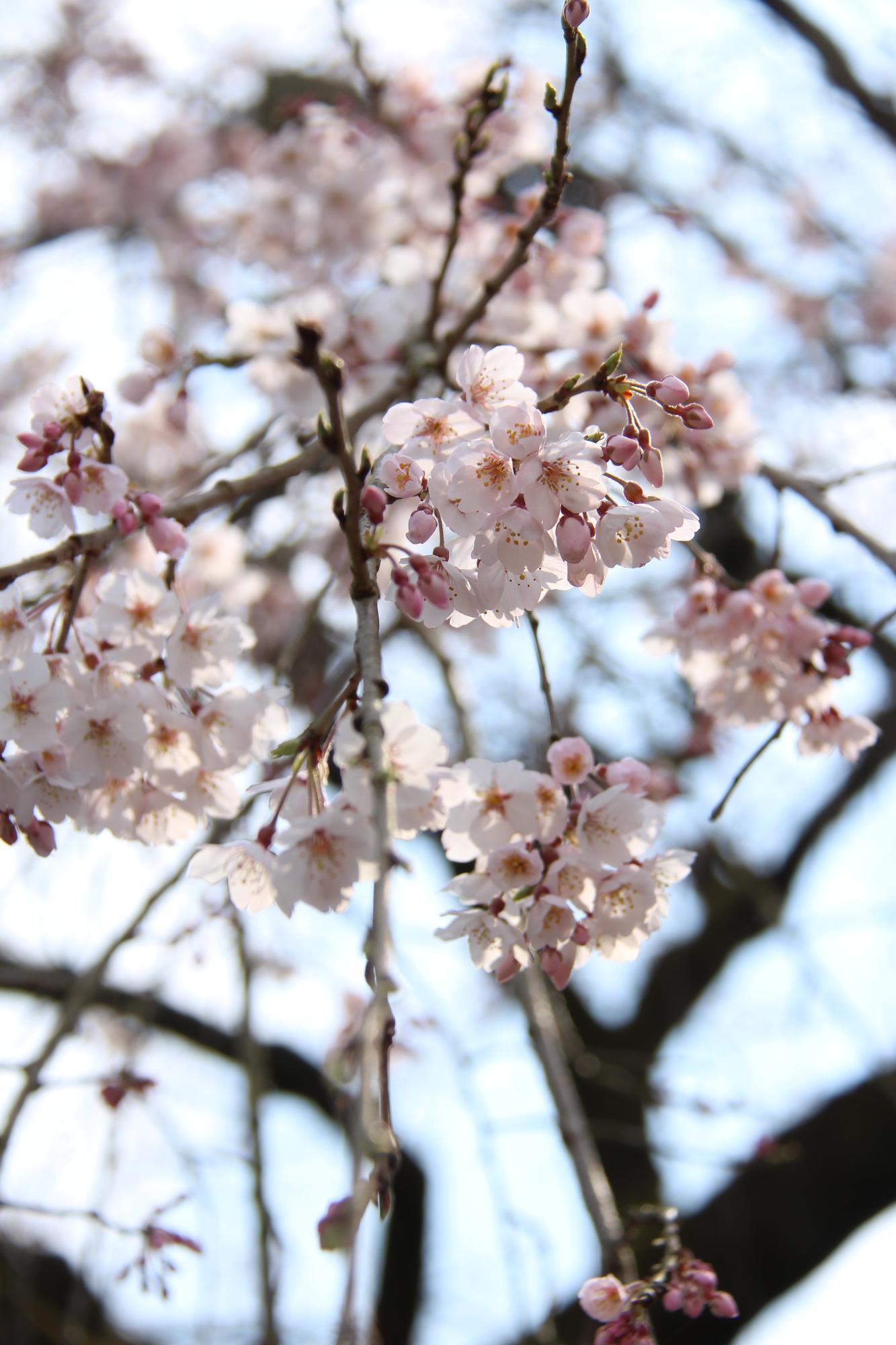 日田市の桜スポットを紹介!/日田市